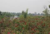 蓝宝玫瑰园_风景图片