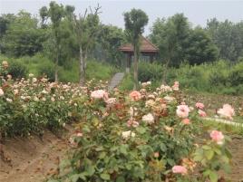 蓝宝玫瑰园