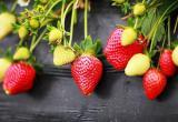 长丰草莓园